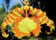 Esenţe de Orhidee din Caraibe